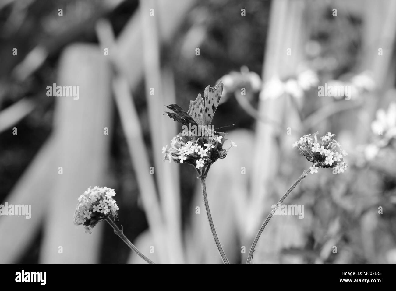 Head-on view of comma butterfly drinking nectar from verbena flowers, blurred background of daisies and wood beyond - Stock Image