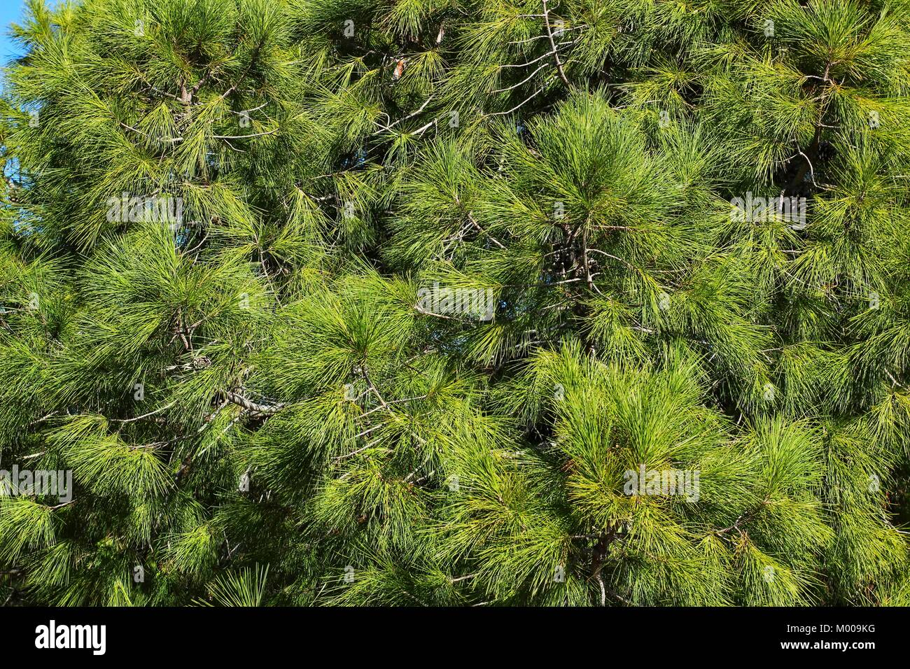 Pinus Halepensis in the mountain under the sun in Alicante - Stock Image