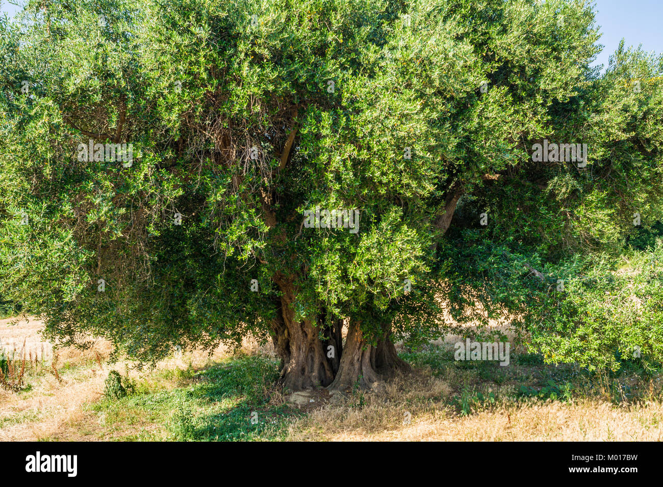 Secular Olive Tree with large an d textured trunk in a field of olive trees in Italy, Marche - Stock Image