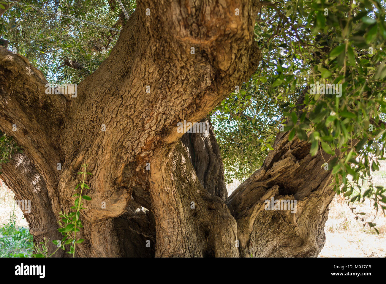 trunk of a large secular olive tree in Italy, Marche. - Stock Image