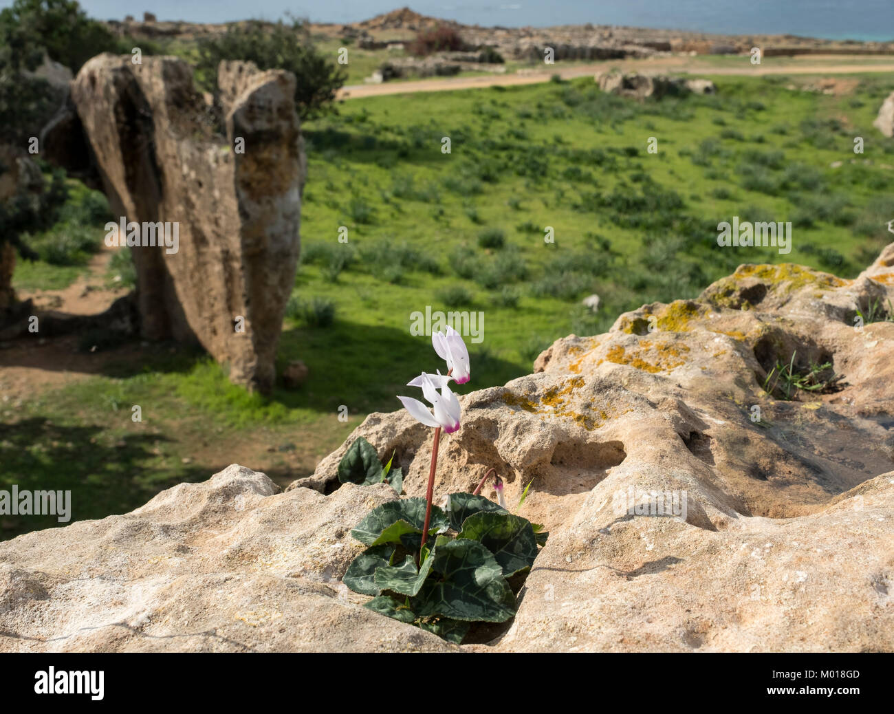 Cyclamen persicum Persian cyclamen flowers growing in the Tomb of the Kings archaeological site, Kato Paphos, Paphos, - Stock Image