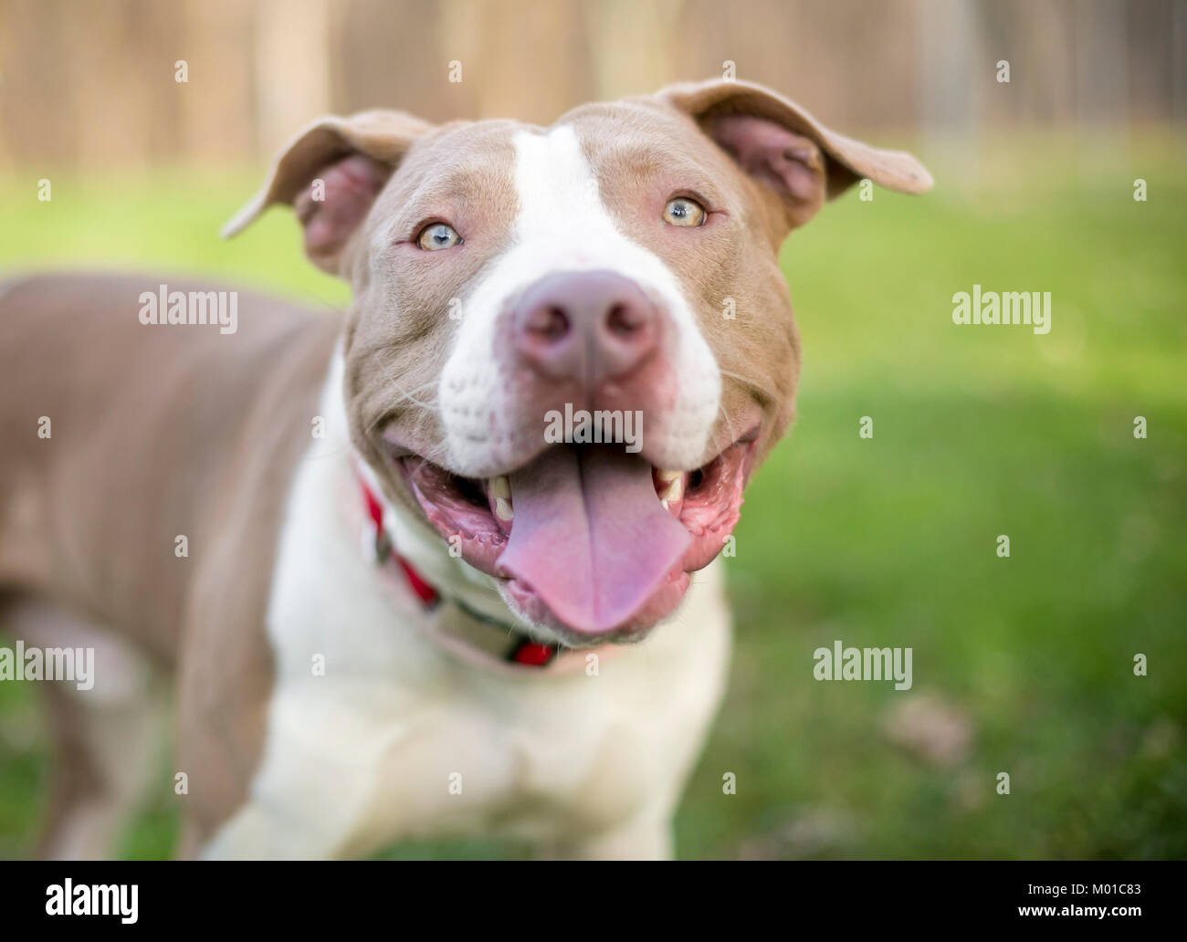 Portrait Of A Smiling Pit Bull Terrier Mixed Breed Outdoors Stock Photo Alamy