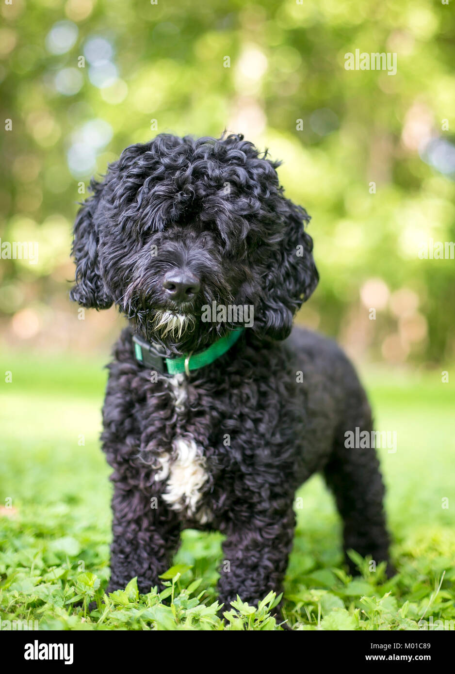 Portrait of a black and white Poodle mixed breed dog outdoors - Stock Image