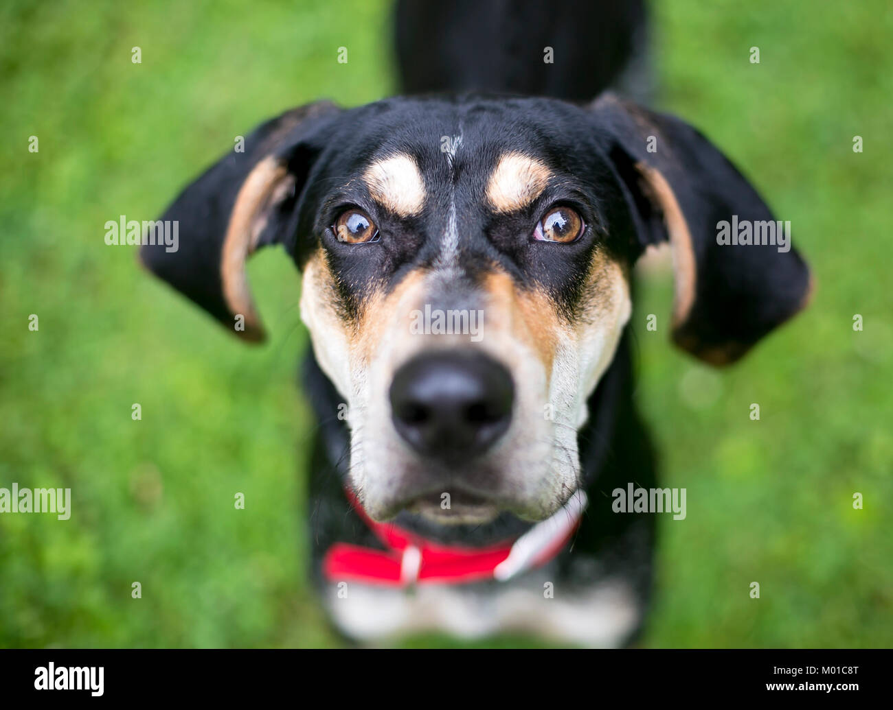 Close up of a black and tan Hound mixed breed dog with floppy ears - Stock Image