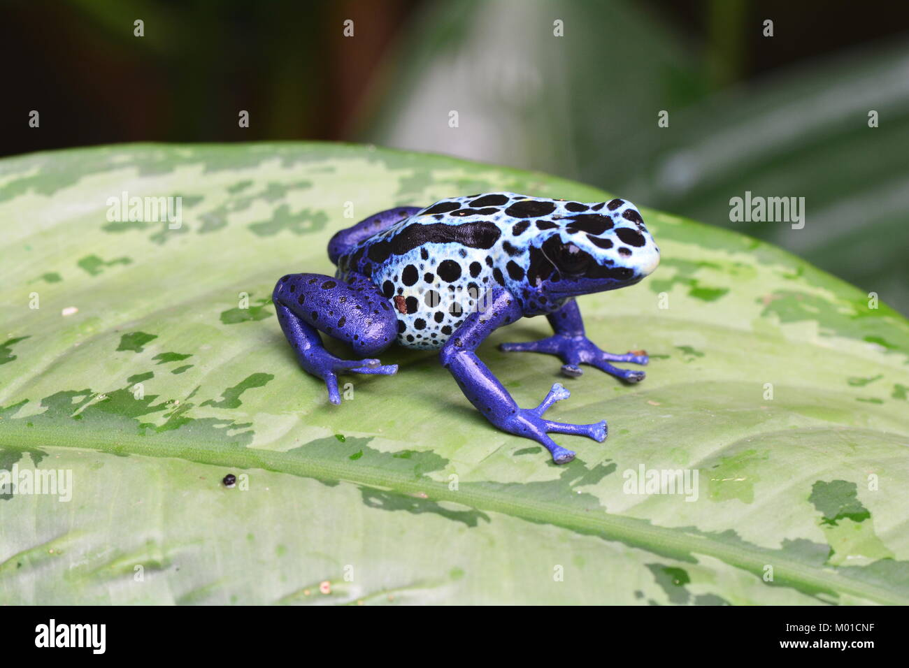 A pretty cobalt blue colored poison dart frog sits on a plant leaf in the gardens. - Stock Image