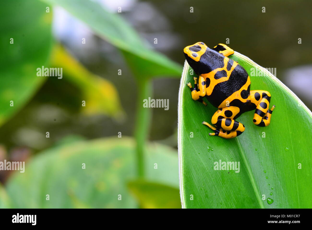 A pretty little bumble bee colored poison dart frog sits on a plant leaf in the gardens. Stock Photo