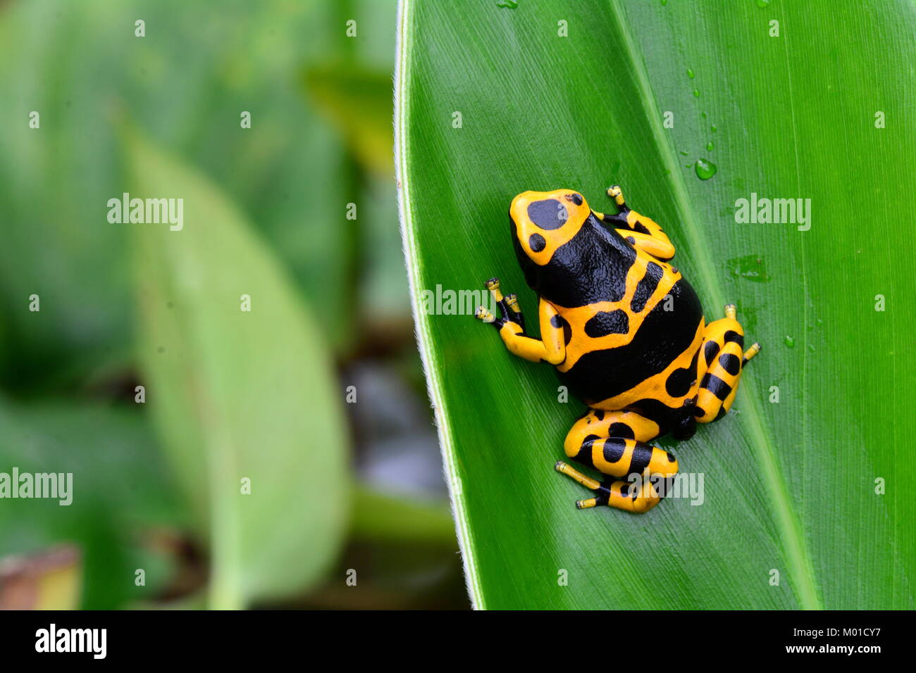 A pretty little bumble bee colored poison dart frog sits on a plant leaf in the gardens. - Stock Image