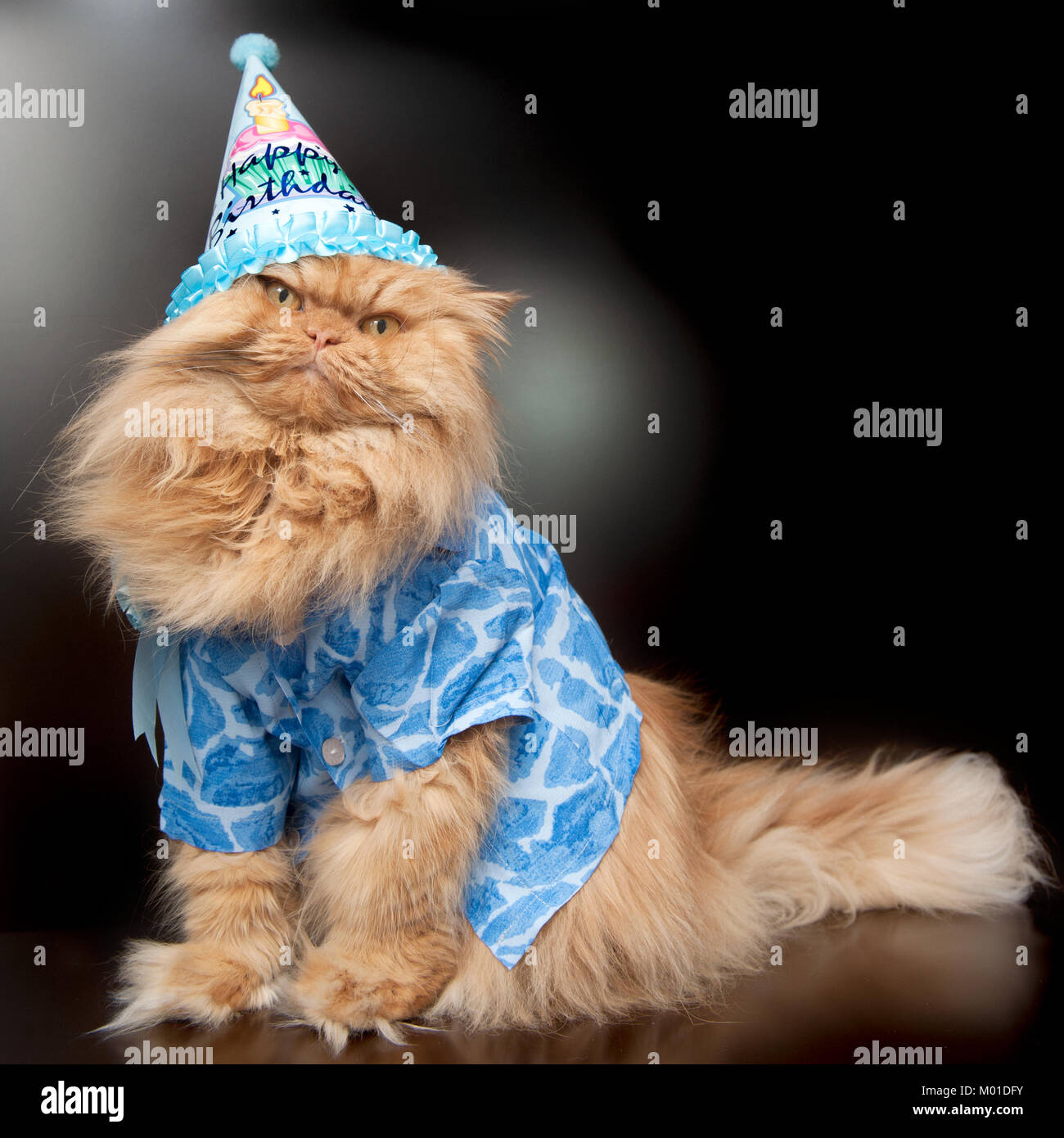 Orange Persian cat with birthday hat - Stock Image