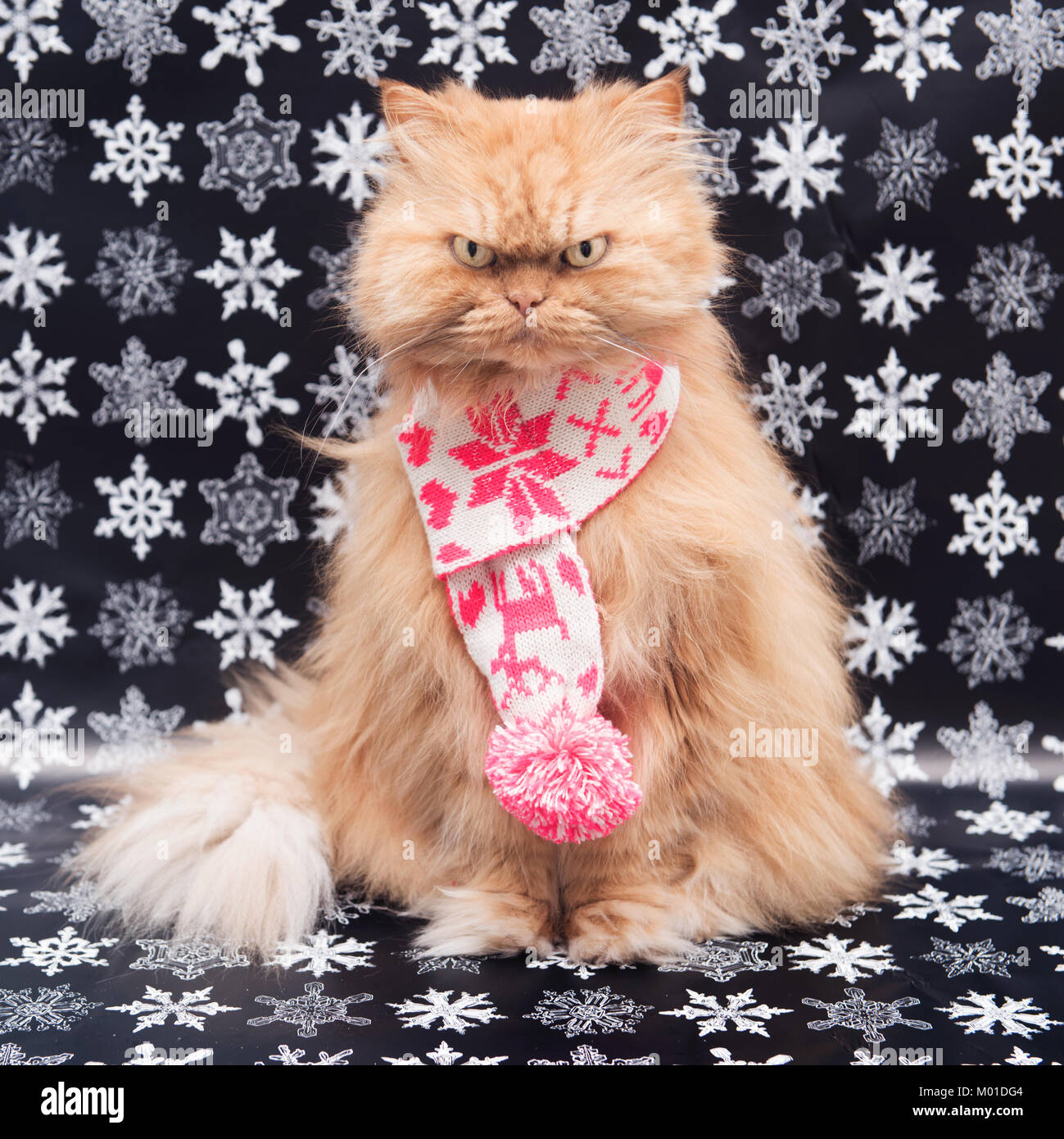 Orange Persian cat with knit scarf - Stock Image