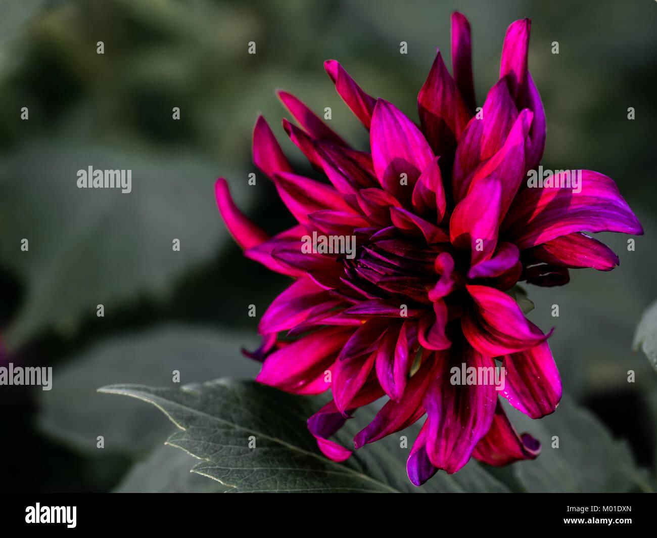 Dahlia, looks close to 'Prince Noir'. A ruffled, semi-cactus, dark burgundy dahlia with a nice defocused - Stock Image