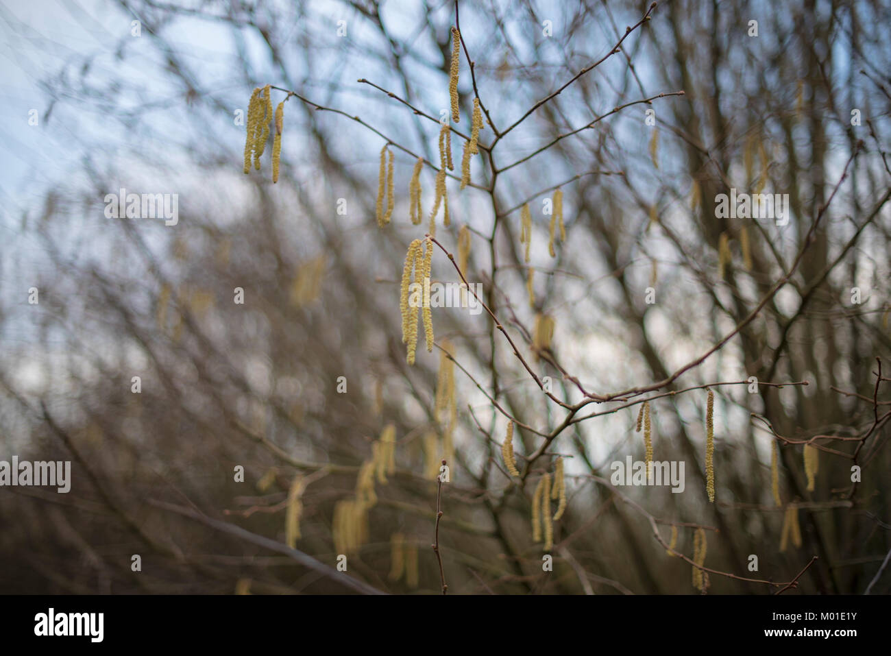 Hazel branches with catkins in the winter - Stock Image