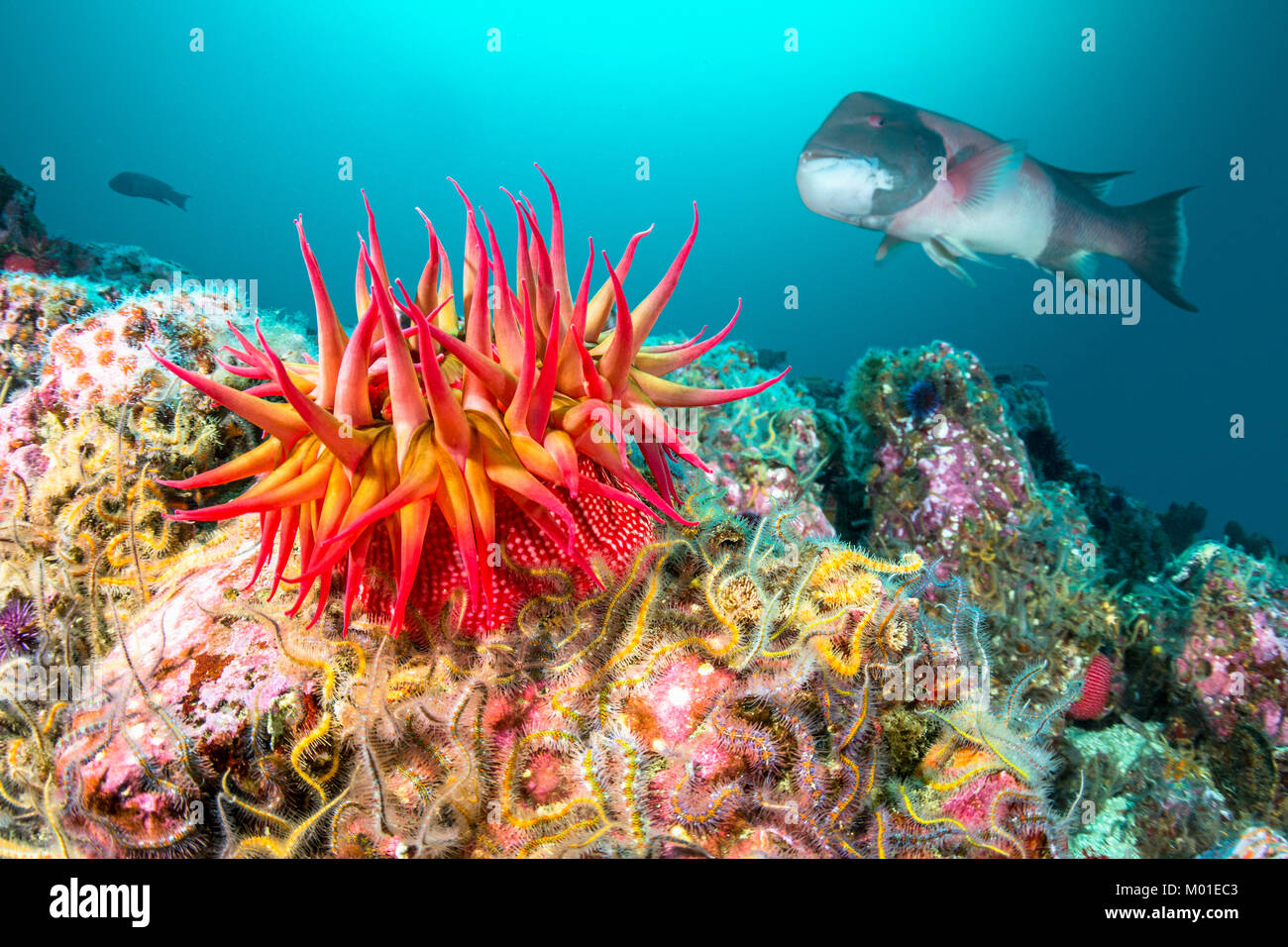 A red rose anemone perched atop a reef in Southern California's Channel Islands attracts a large sheephead gamefish - Stock Image