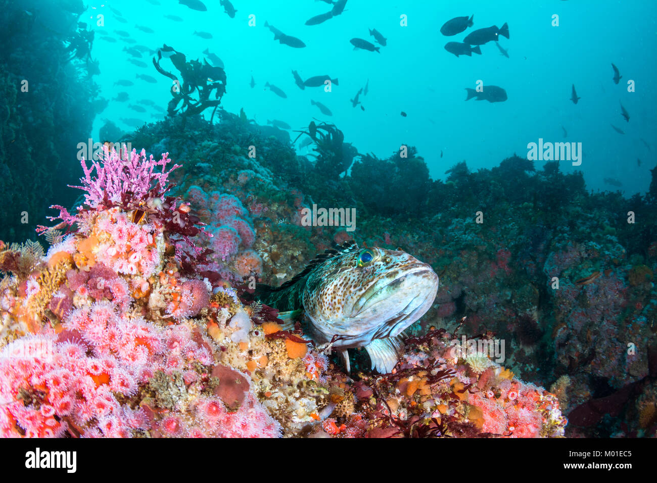 A bed of strawberry anemones surrounds a lingcod while it rests on a reef. Stock Photo