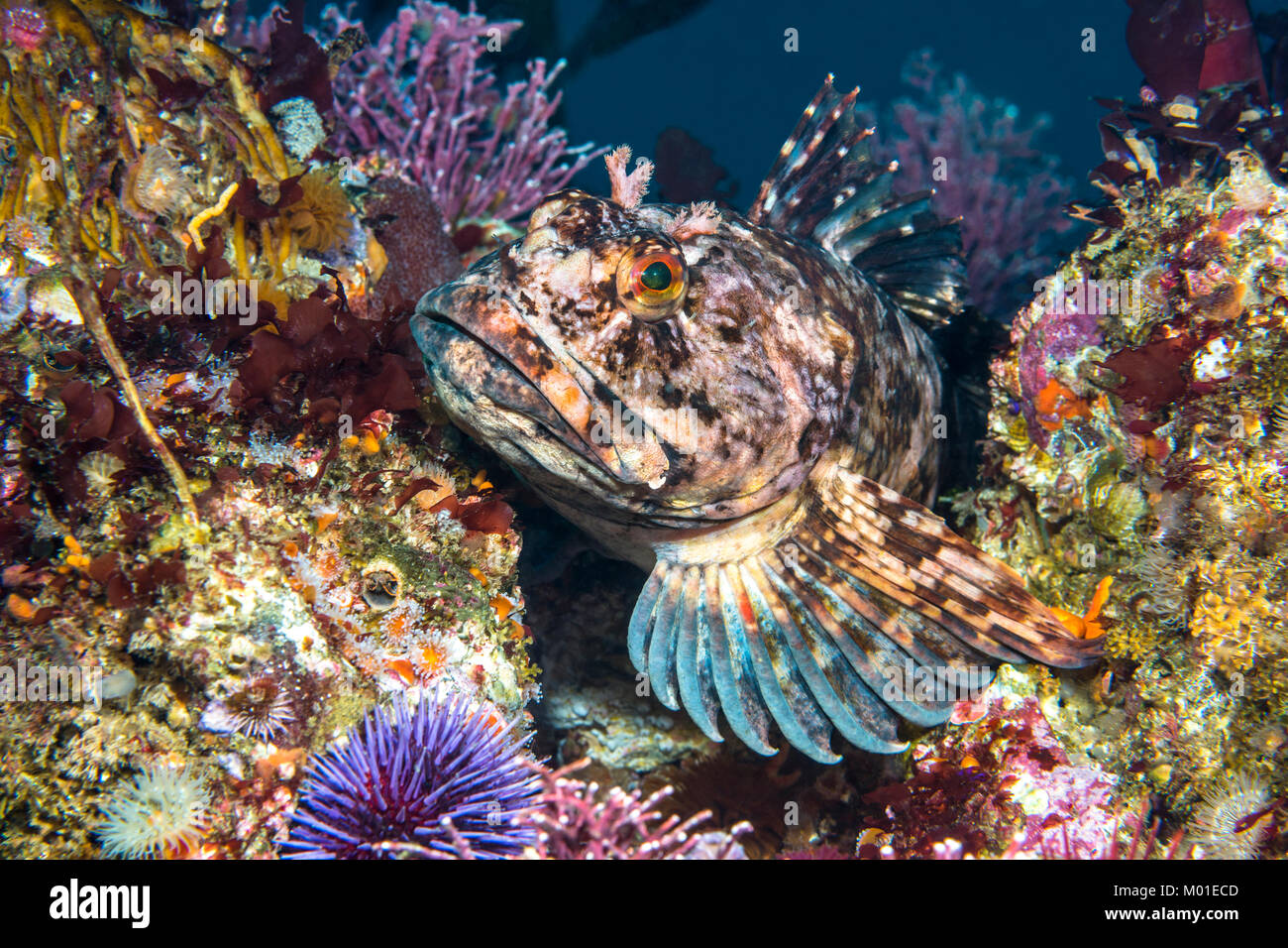 A female Cabezon game fish rests atop an underwater reef in Southern California - Stock Image