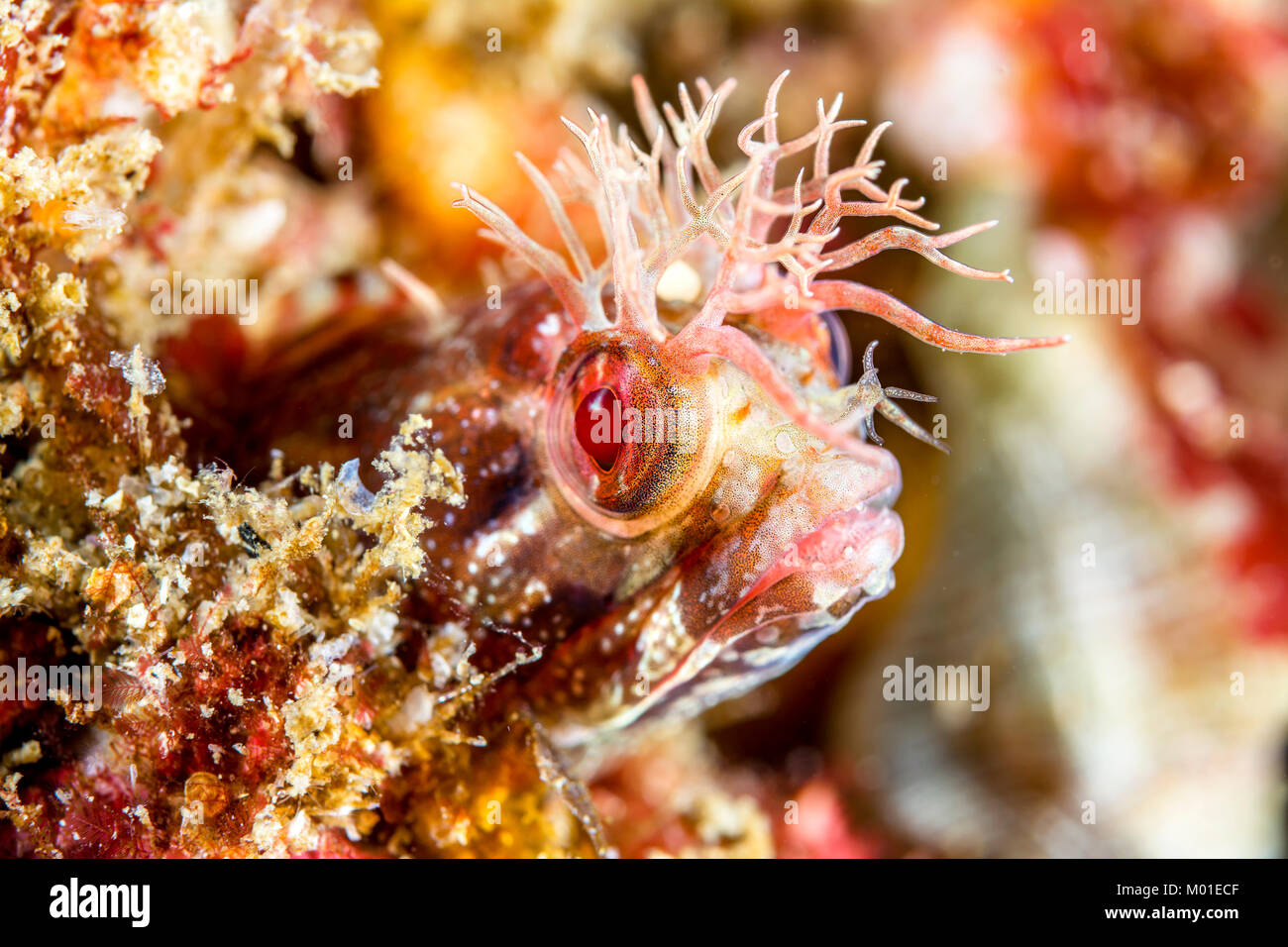 A small fringehead blenny fish peeks out of a hole on a reef in southern California. - Stock Image