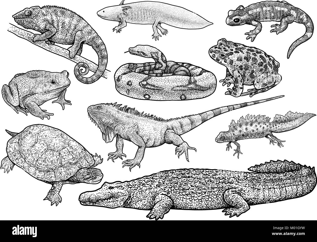 Amphibians and reptiles collection illustration, drawing, engraving, ink, line art, vector - Stock Vector