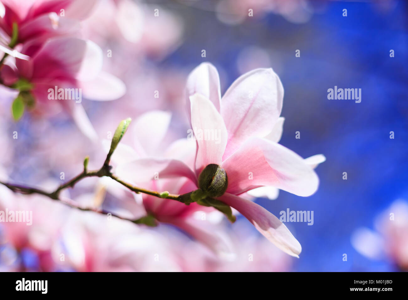 Pink magnolia flower on blue sky background with shallow depth of pink magnolia flower on blue sky background with shallow depth of field and selective focus on flower petal magnolia flowers in spring with blue sky mightylinksfo