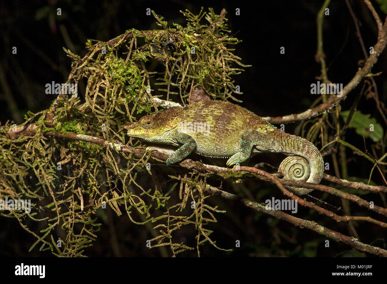 Cryptic Chameleon (Calumma crypticus), (Chameleonidae), endemic to Madagascar, Anjozorobe Nationalpark, Madagascar - Stock Image