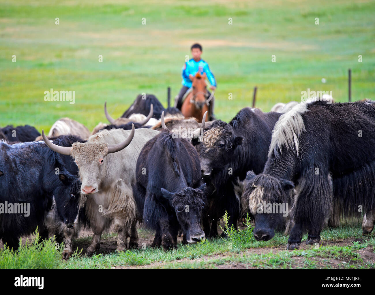 Mounted boy as shepard of a herd of Yaks, Gorkhi-Terelj National Park, Mongolia - Stock Image