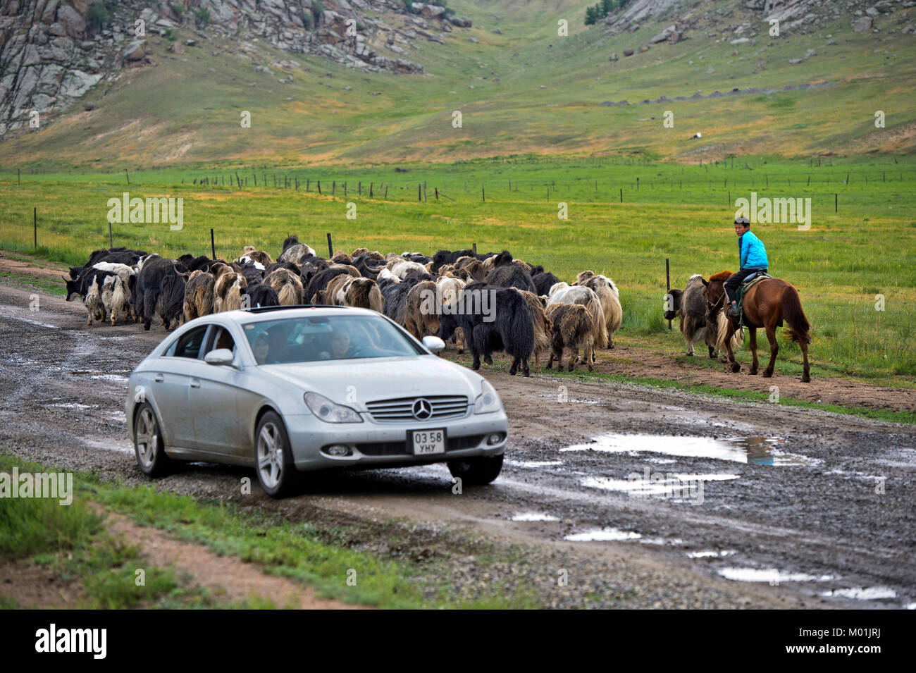 A herd of Yaks and a Mercedes car meeting on a muddy country road, Gorkhi-Terelj National Park, Mongolia - Stock Image