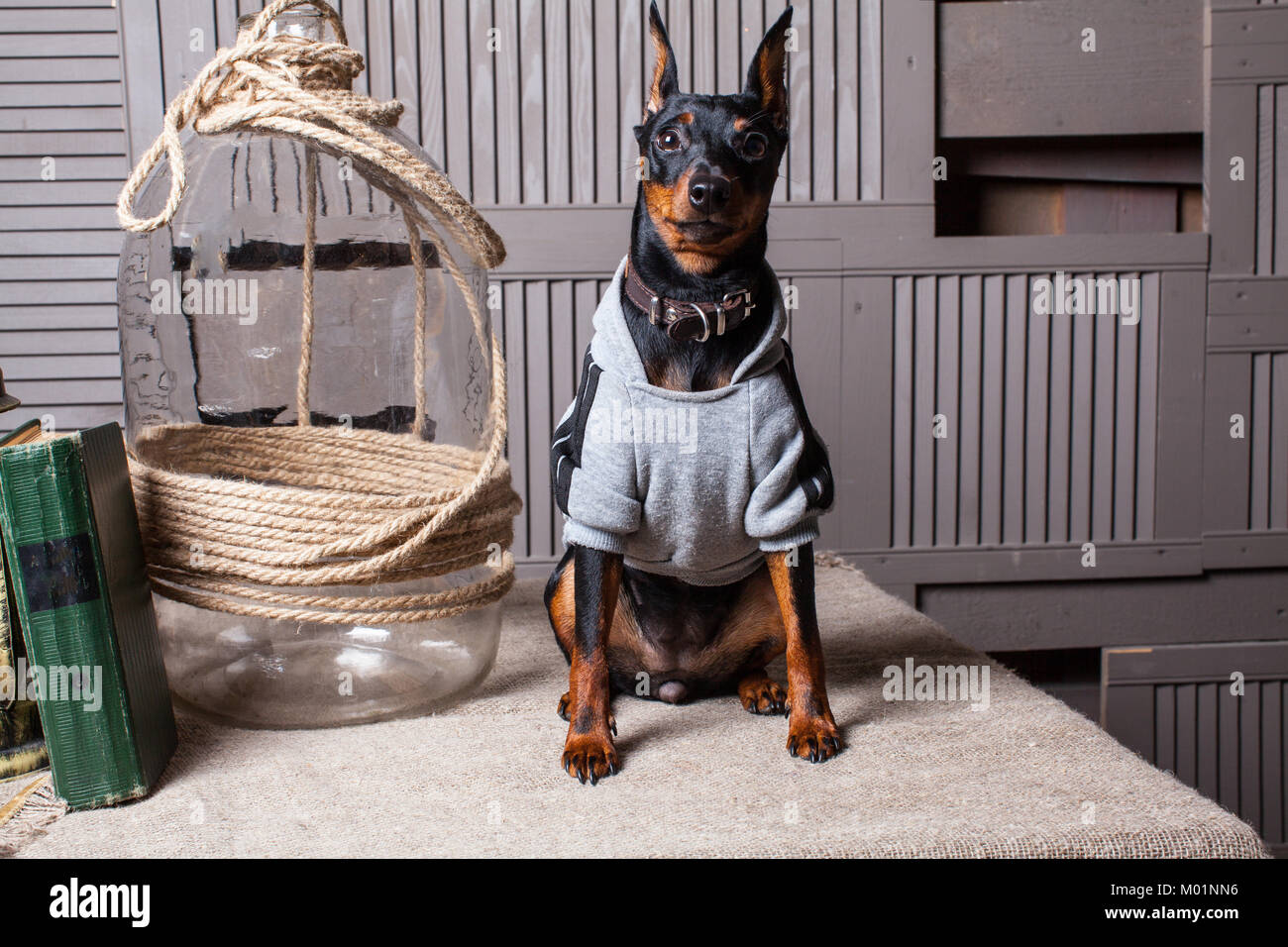 Doberman Pinscher. A small black-brown dog on the table. Puppy in clothes. Backdrop gray boards.Close-up - Stock Image
