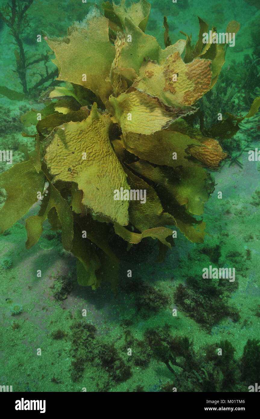 Single specimen of brown stalked kelp Ecklonia radiata with frond partially eaten by herbivores in murky bay. - Stock Image