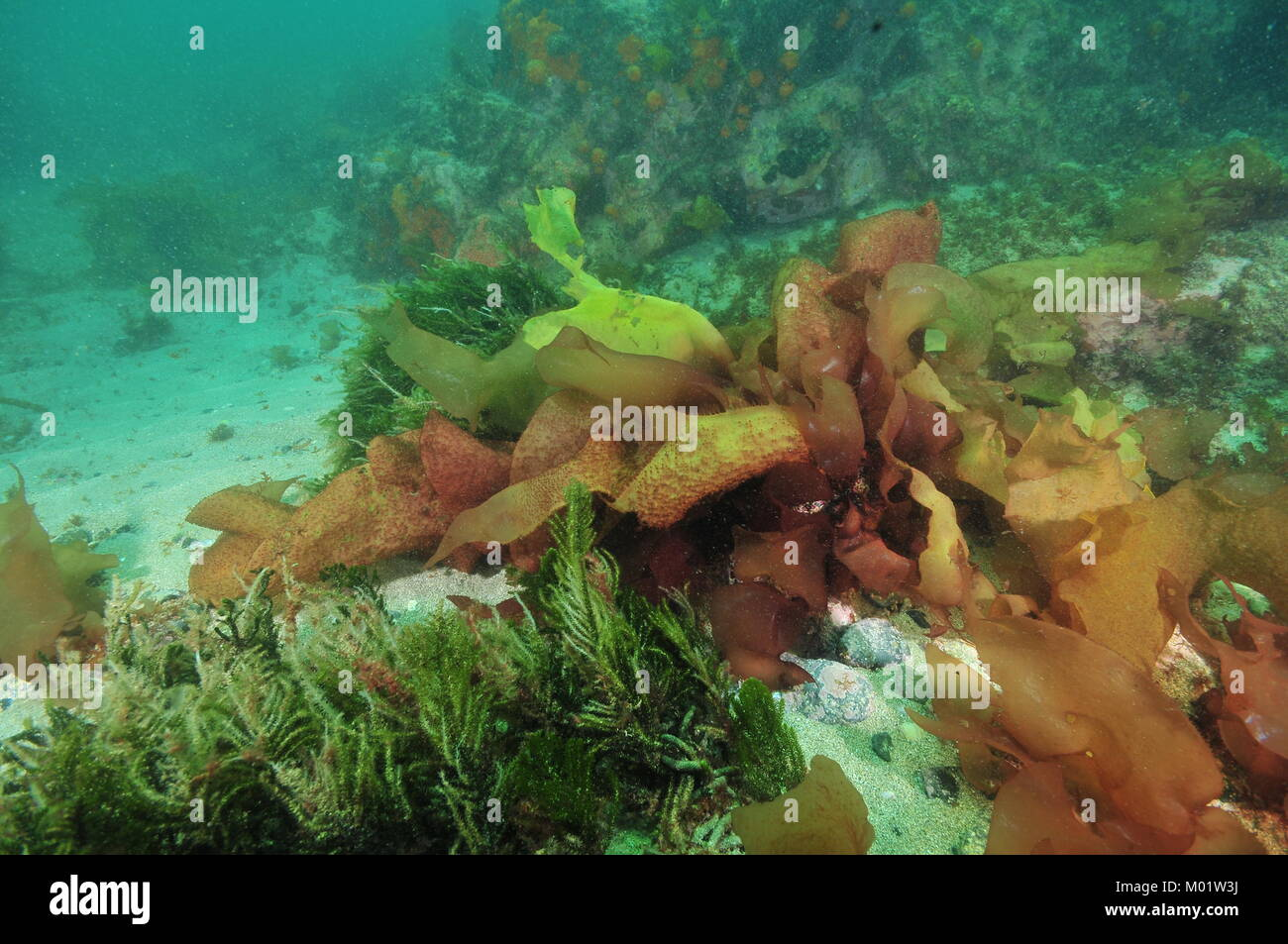 Seaweeds and kelp of various colors in murky water on bottom where rocky reef meets sand. - Stock Image
