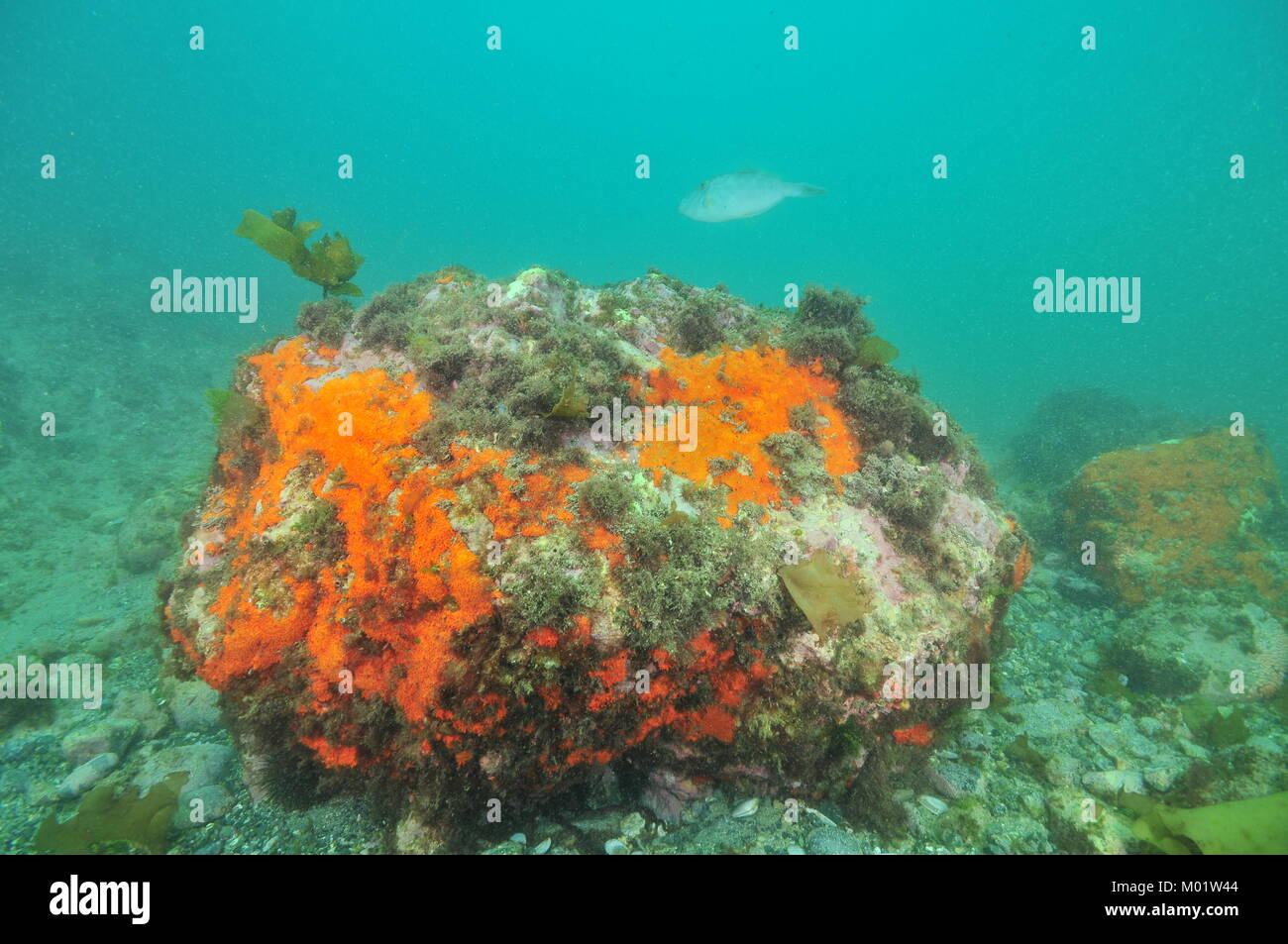 Large boulder covered with colorful encrusting sponges but missing vegetation on bottom in murky water. - Stock Image