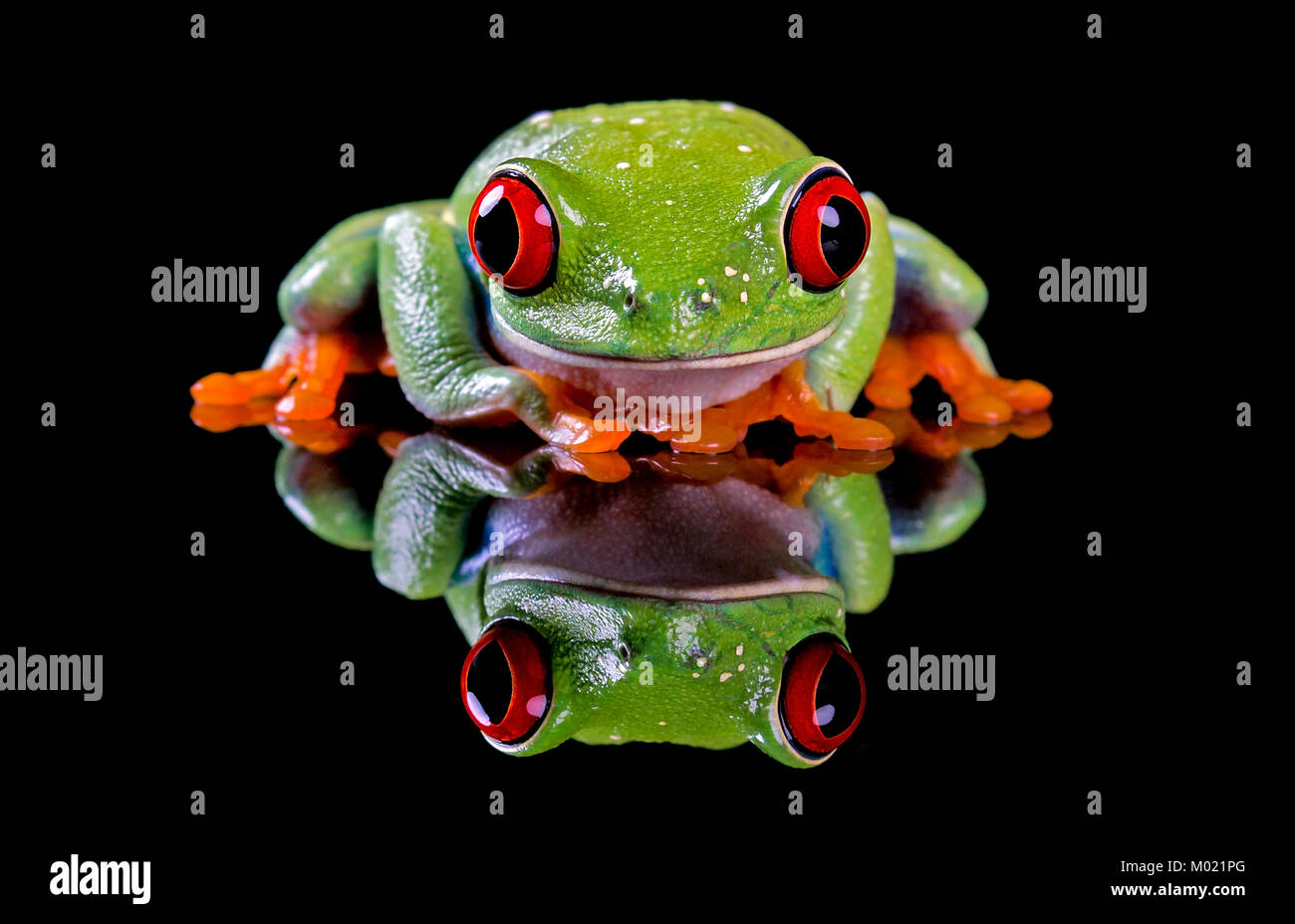 A cute Red Eyed Tree Frog,crouched and looking shy, with a shiny reflection and black copy space.With Property Release. - Stock Image