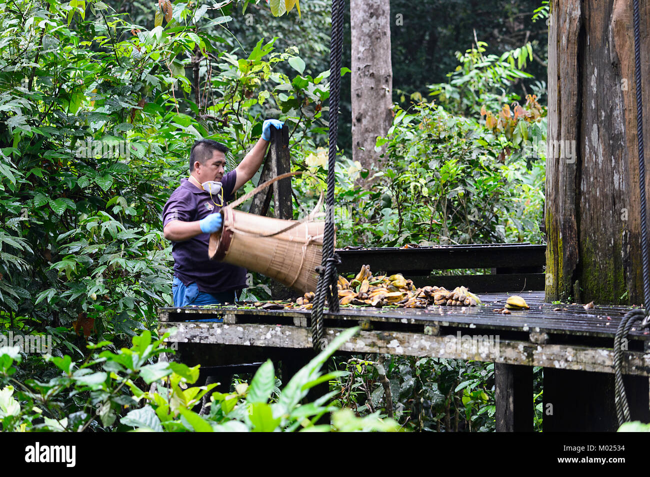 Staff helper delivering bananas at the feeding platform, Sepilok Orangutan Rehabilitation Centre, Borneo, Sabah, - Stock Image
