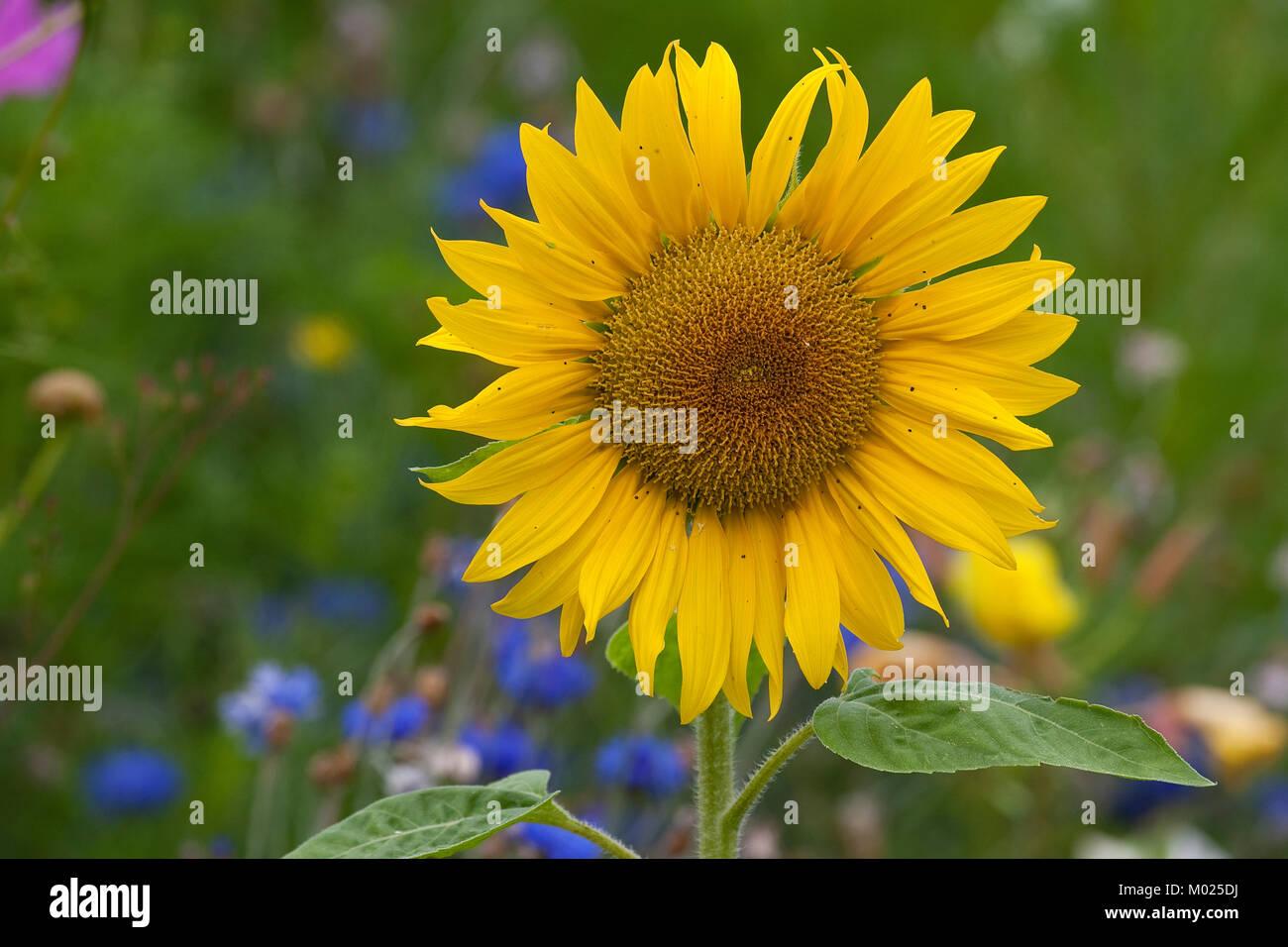 Sonnenblume, Sonnenblumen, Helianthus annuus, Common Sunflower - Stock Image