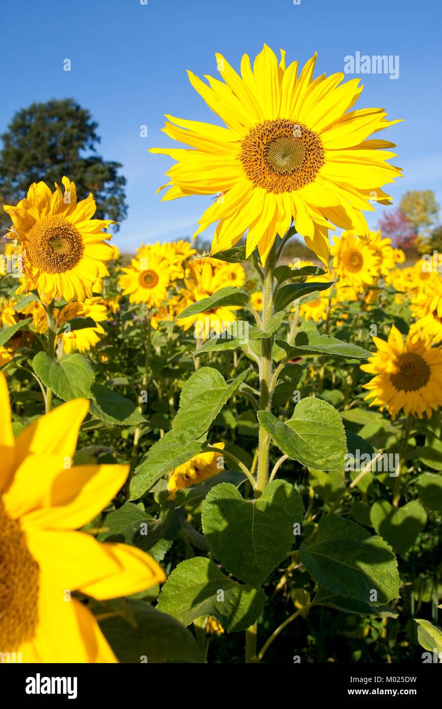 Sonnenblume, Sonnenblumen, Anbau auf Feld, Sonnenblumen-Feld, Helianthus annuus, Common Sunflower - Stock Image