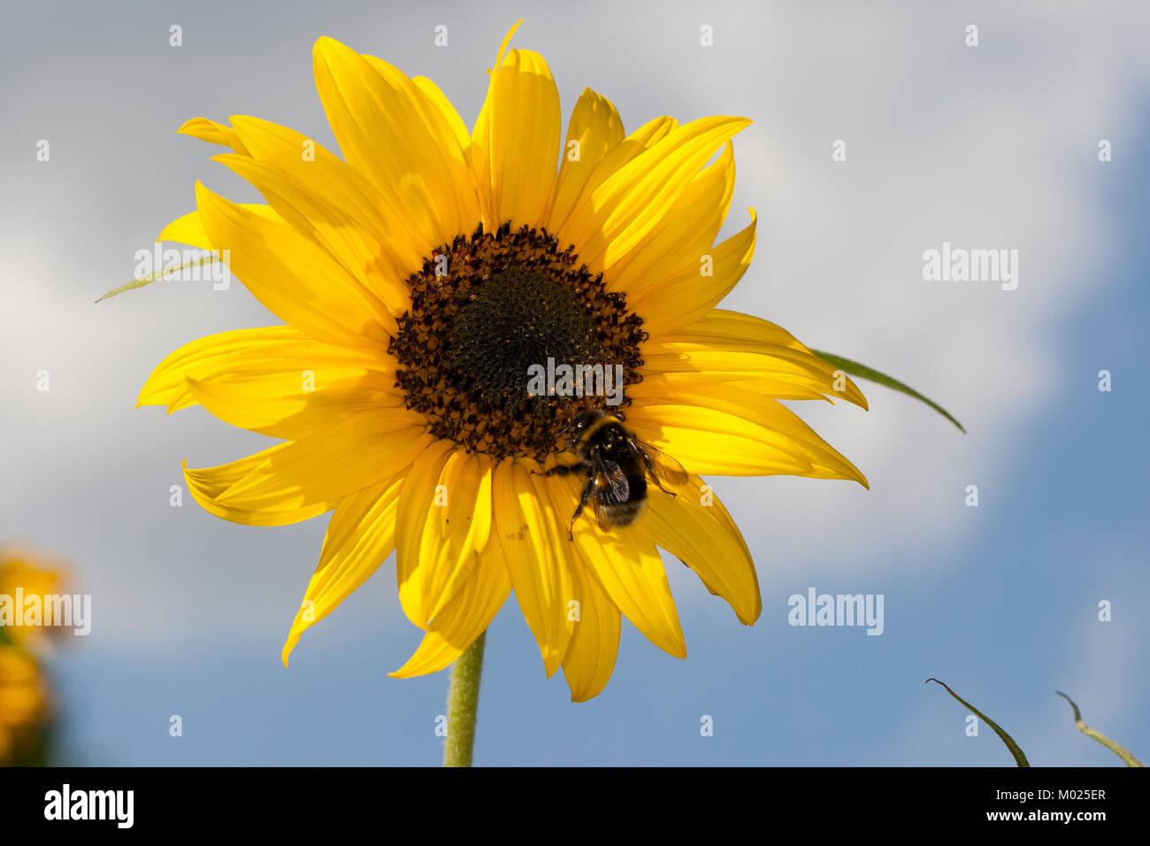 Sonnenblume, Helianthus annuus, Common Sunflower - Stock Image