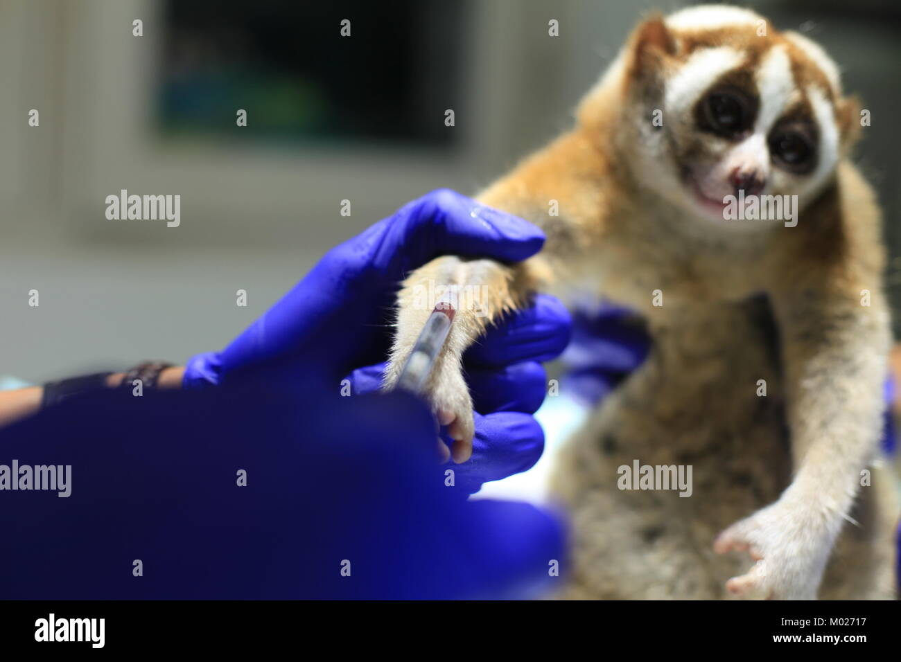 The veterinarian takes blood samples of the slow loris for medical purposes. - Stock Image