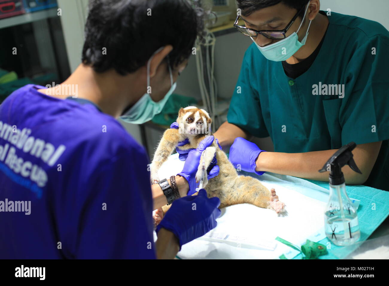 The veterinarian does medical check up a slow loris to be released by the end of january - Stock Image