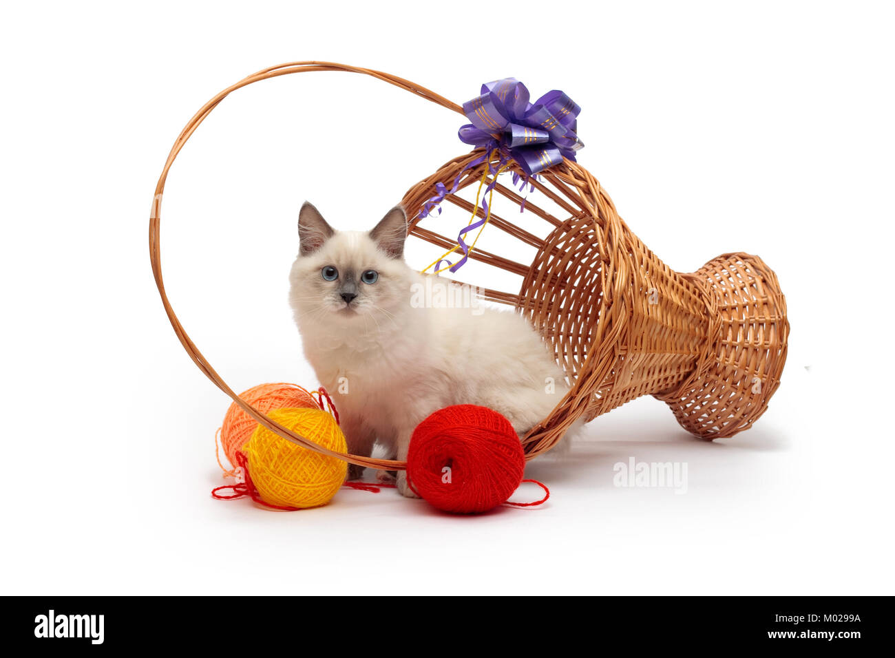 Siberian cat Colour-Point in the basket Stock Photo
