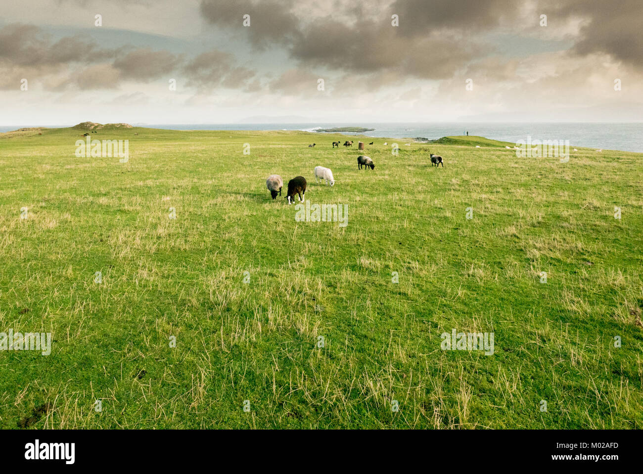 sheeps flock herd grazing on the coast over the ocean - Stock Image