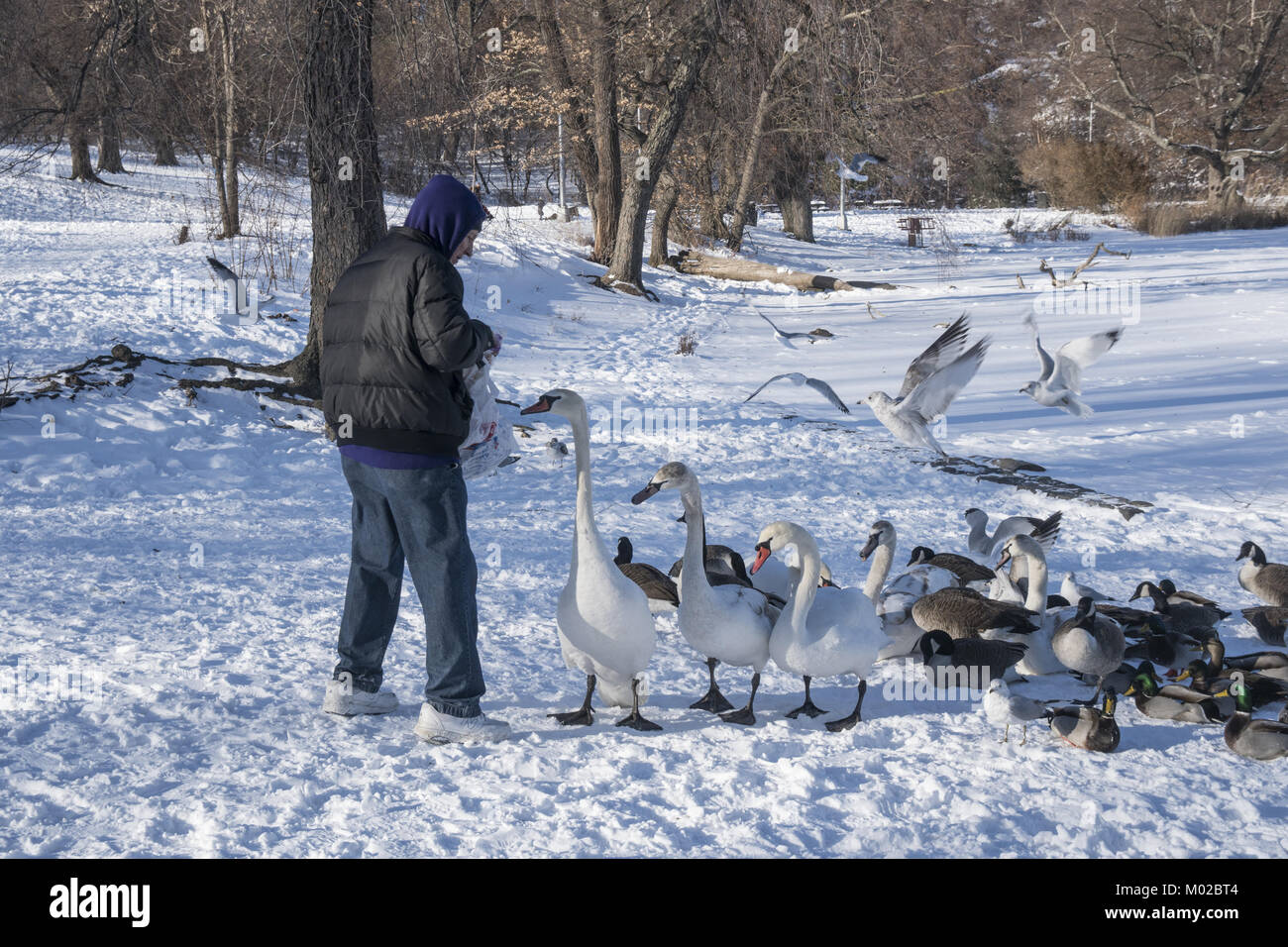 Man feeds geese and swans during the winter in Prospect Park when food is hard to come by.  Brooklyn, New York. - Stock Image