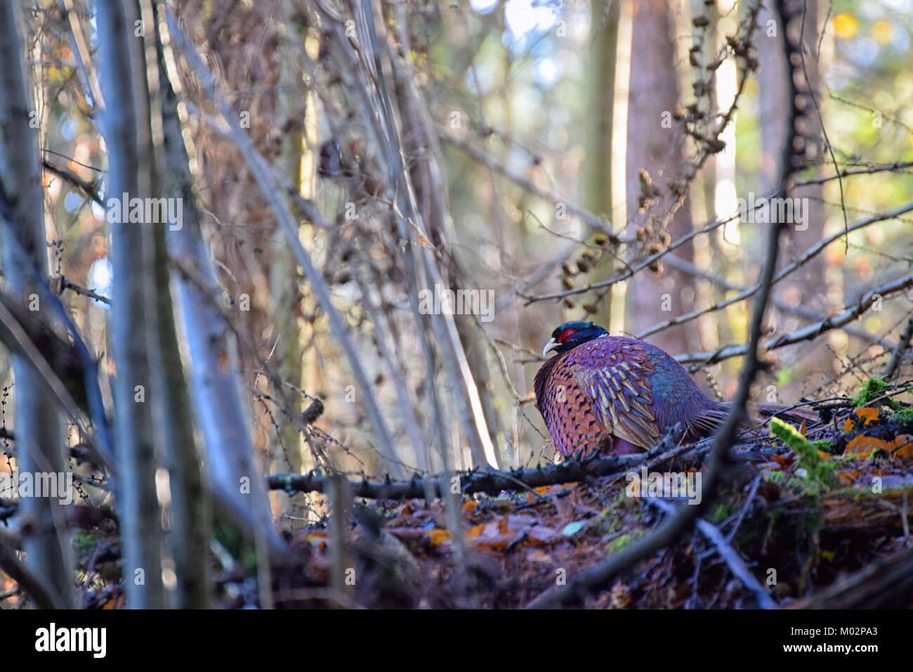 Pheasant basking in the sun - Stock Image