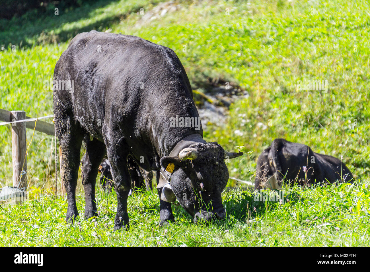 Italy,Aosta Valley,Valnontey,cow - Stock Image