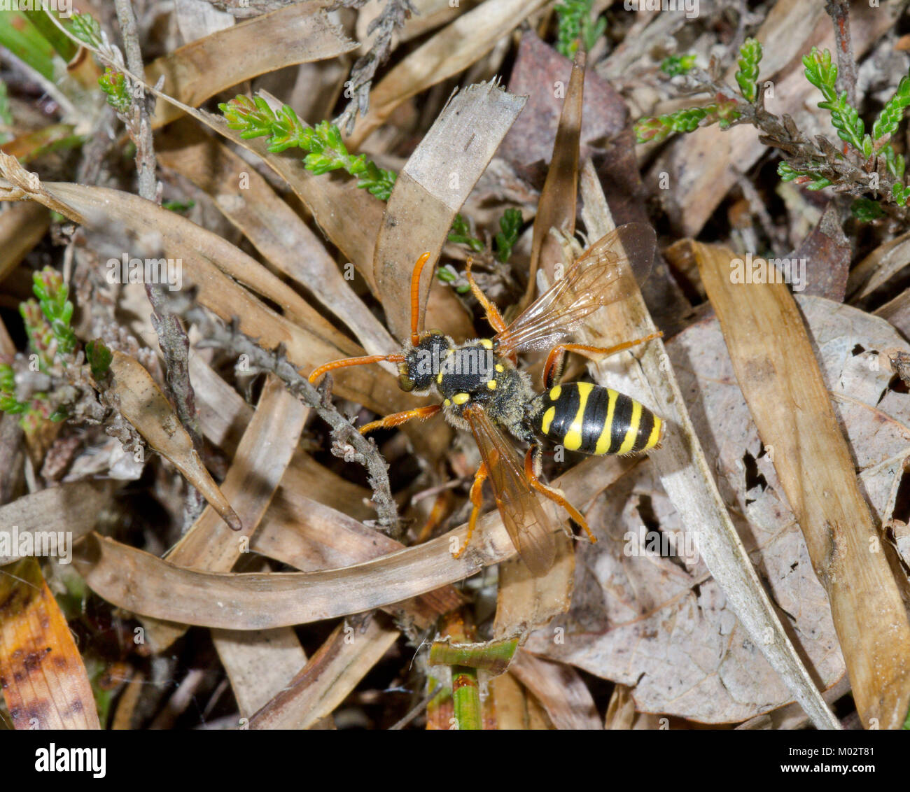 Goodens Nomad Cuckoo Bee (Nomada goodeniana) on heathland in Sussex, UK - Stock Image