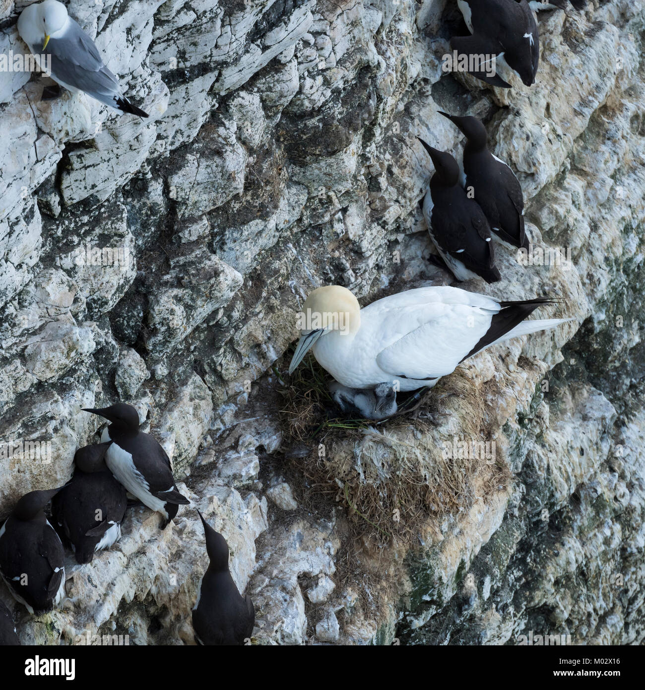 Single gannet sitting on nest with chick, on chalk cliff side with guillemots  nesting nearby - Bempton Cliffs RSPB Stock Photo