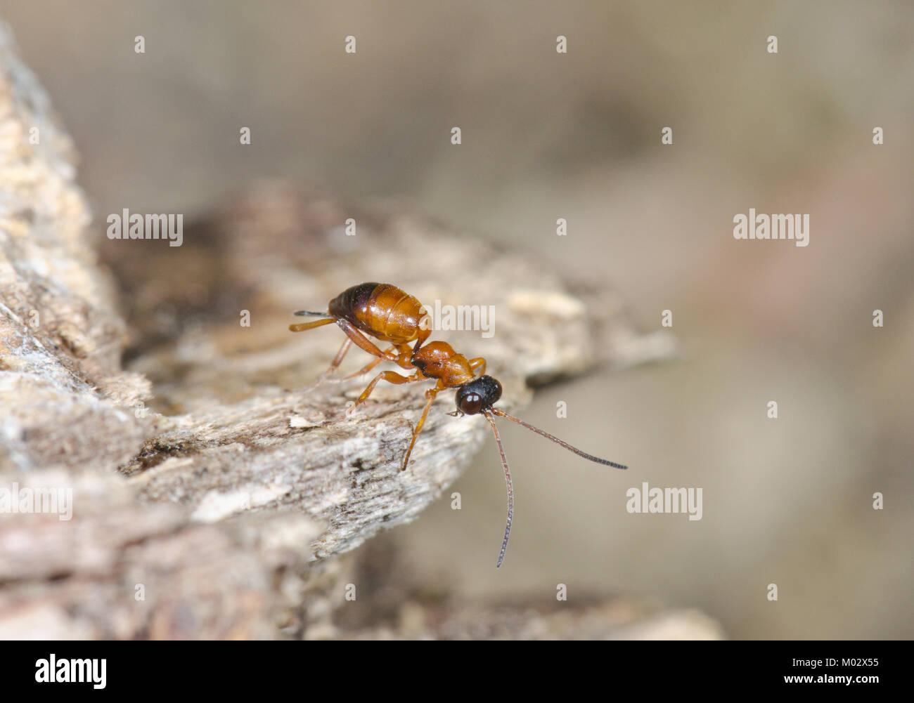 Wingless Ichneumon Wasp (Gelis sp). Sussex, UK - Stock Image