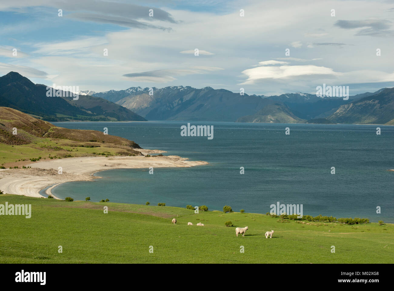Stunning view of Lake Hawea, with lambs in foreground and blue lake and mountins behind. From State Highway 6, (road - Stock Image