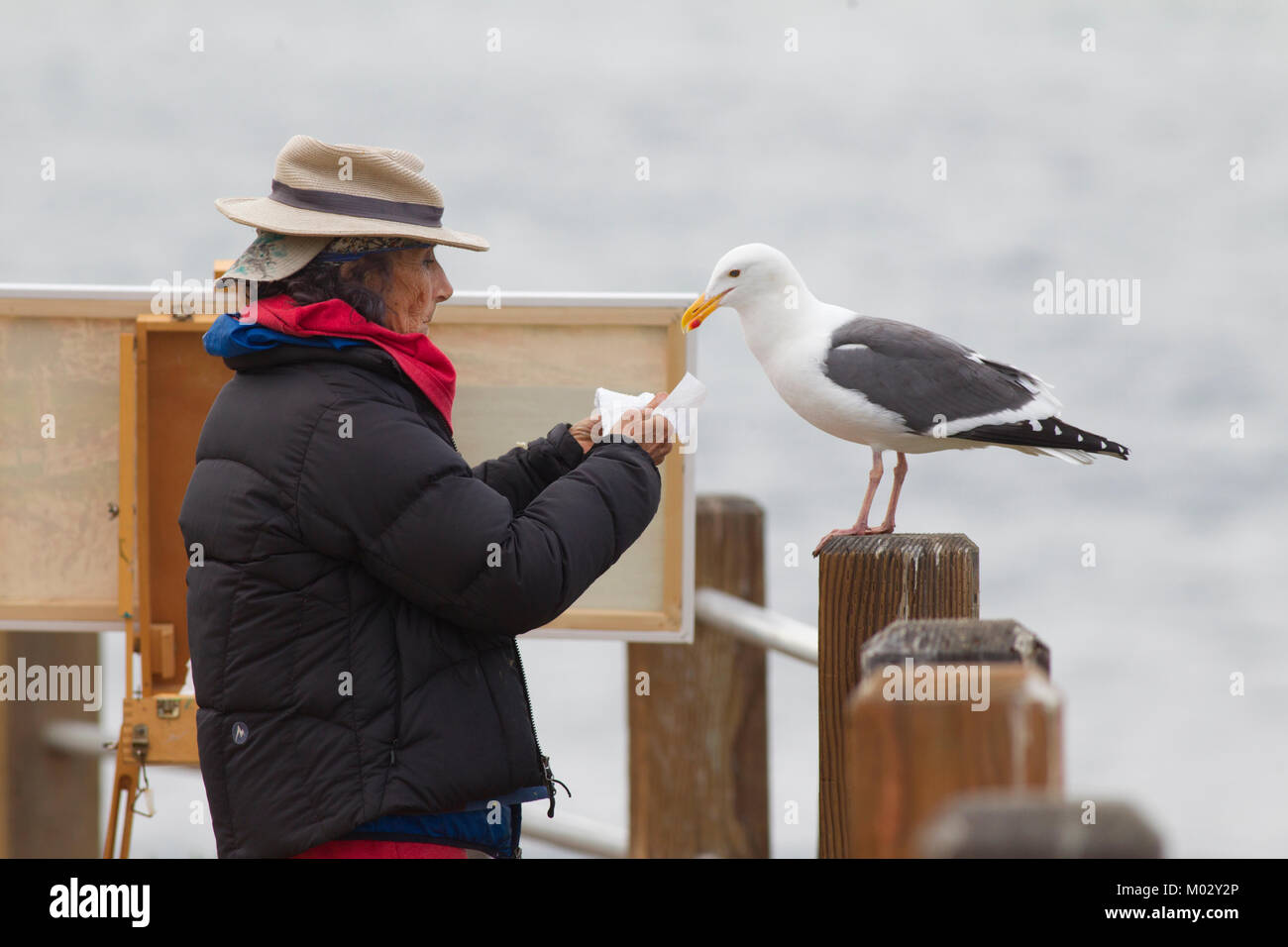 Elderly Street Artist Interacting with a Western Gull Stock Photo