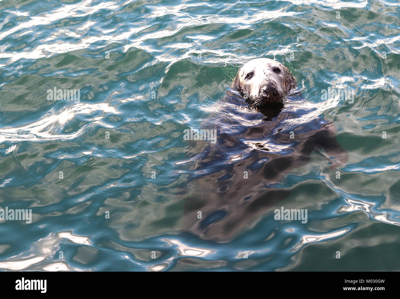 Seal in Dublin. Fishermen have been complaining on the impact that seals are having on their livelihoods in Ireland. - Stock Image