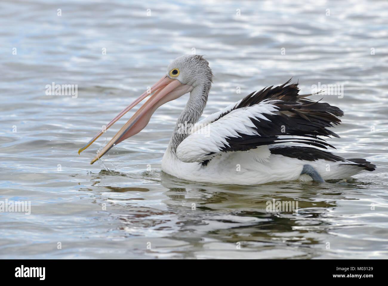Australian Pelican Pelecanus conspicillatus Photographed on Kangaroo Island, Australia Stock Photo