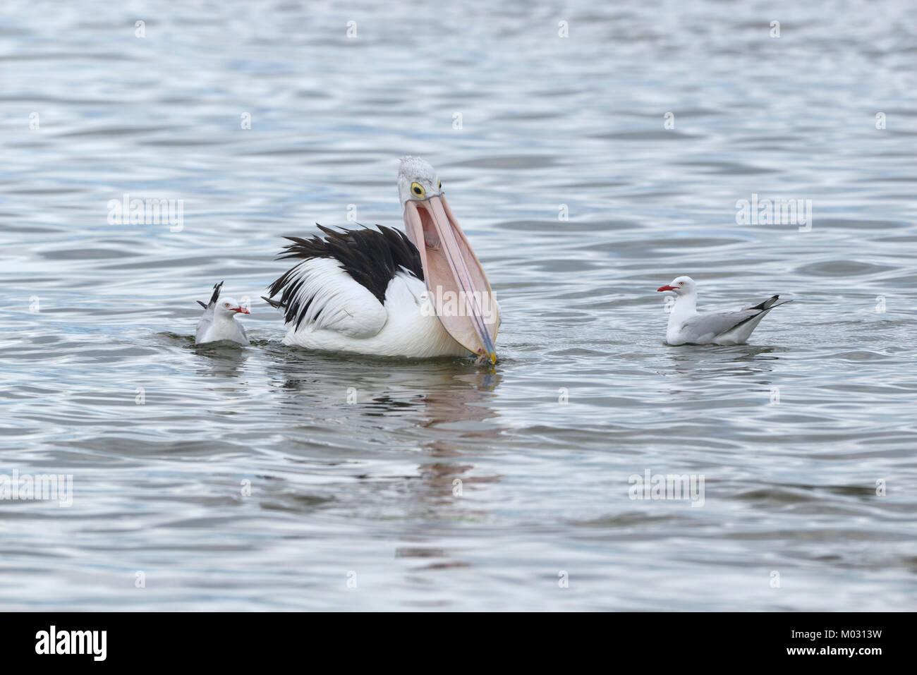 Australian Pelican Pelecanus conspicillatus Feeding Photographed on Kangaroo Island, Australia Stock Photo