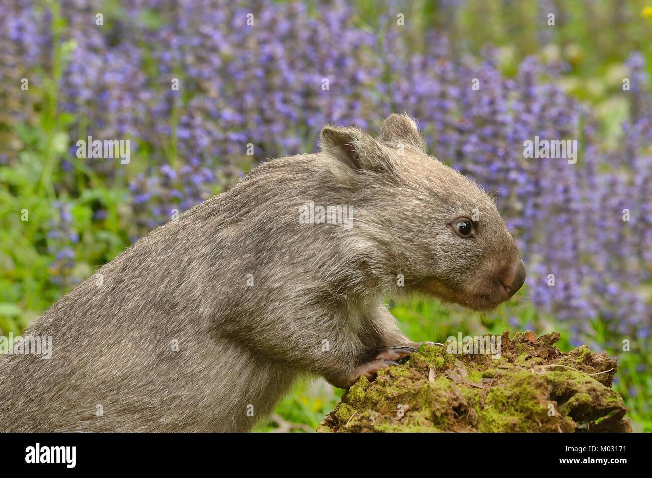 Common Wombat Vombatus ursinus Photographed in Tasmania, Australia Stock Photo