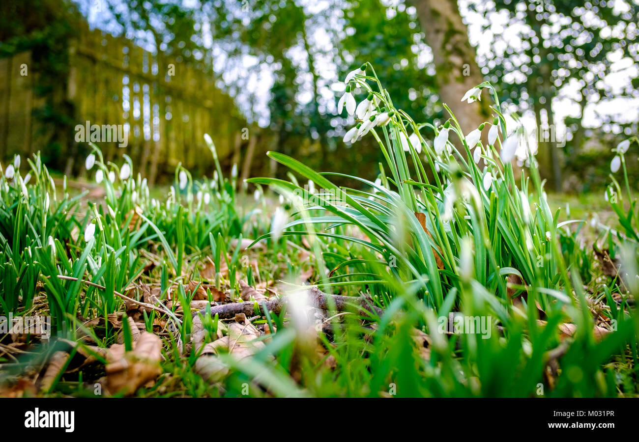 Snowdrops in parkland peeking through showing signs of winter ending and that spring is coming, with trees in a Stock Photo